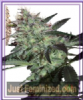 Seed Makers Super Diesel Fem 5 Marijuana Seeds